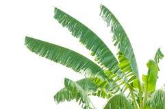 Aísle el top de los árboles de plátano Foto de archivo libre de regalías