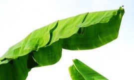 Aísle el top de los árboles de plátano Fotos de archivo libres de regalías