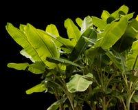 Aísle las hojas del plátano hechas excursionismo Foto de archivo libre de regalías