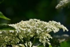 Aîné de floraison, nigra de Sambucus Photo libre de droits