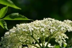 Aîné de floraison, nigra de Sambucus Photo stock