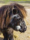 Aîné de poney de Shetland Image libre de droits