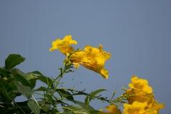 Aîné jaune avec le fond de ciel bleu Photo libre de droits
