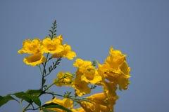 Aîné jaune avec le fond de ciel bleu Photographie stock