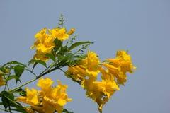 Aîné jaune avec le fond de ciel bleu Image libre de droits