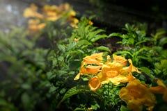Aîné jaune, cloches jaunes, ou Trumpetflower Photo stock