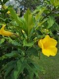 Aîné jaune, Trumpetbush, Trumpetflower, trompette-fleur jaune, ‹jaune de trumpetbush†images stock