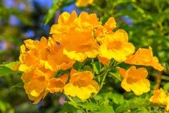 Aîné jaune, Trumpetbush, Trumpetflower, trompette-fleur jaune Image libre de droits