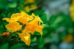 Aîné jaune, Trumpetbush, Trumpetflower, trompette-fleur jaune, Photo libre de droits