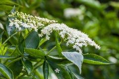 Aîné ou fleur de sureau et x28 ; Nigra& x29 de Sambucus ; Photos libres de droits