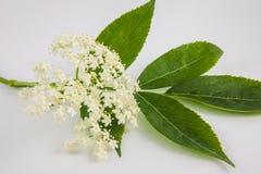 Aîné ou fleur de sureau et x28 ; Nigra& x29 de Sambucus ; Images stock