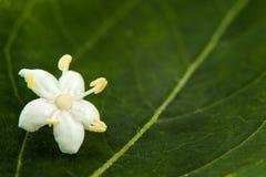 Aîné ou fleur de sureau et x28 ; Nigra& x29 de Sambucus ; Image libre de droits