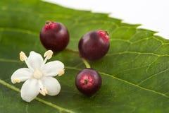 Aîné ou fleur de sureau et x28 ; Nigra& x29 de Sambucus ; Photos stock