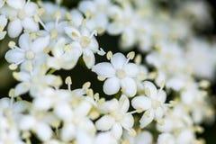 Aîné ou fleur de sureau et x28 ; Nigra& x29 de Sambucus ; Images libres de droits