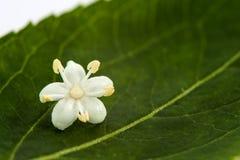 Aîné ou fleur de sureau et x28 ; Nigra& x29 de Sambucus ; Photo libre de droits