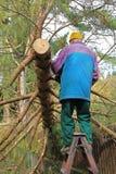 Aîné réduisant un arbre tombé Photographie stock