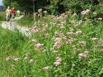 Aînés sur une bicyclette en nature d'été, Pays-Bas Photographie stock