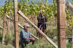 Aînés travaillant dans le vignoble pendant le temps de récolte avec des feuilles des raisins autour Photo stock