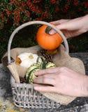 Añadiendo una pequeña calabaza a una cesta por completo de calabazas Imagen de archivo