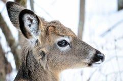Añal de los ciervos de Whitetail Fotografía de archivo