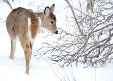 Añal de los ciervos de Whitetail Foto de archivo