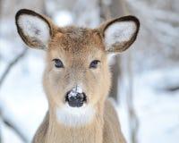 Añal de los ciervos de Whitetail Foto de archivo libre de regalías