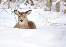 Añal de los ciervos de Whitetail Imagenes de archivo