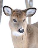Añal de los ciervos de Whitetail Fotografía de archivo libre de regalías