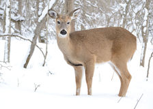 Añal de los ciervos de Whitetail Fotos de archivo
