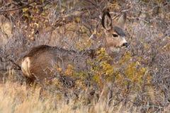 Añal de los ciervos mula Fotografía de archivo