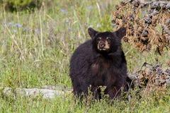 Añal del oso negro Foto de archivo libre de regalías