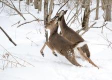 Añal y gama de los ciervos de Whitetail Fotos de archivo