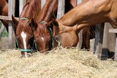 Añales que mastican el heno en el verano del rancho Fotos de archivo