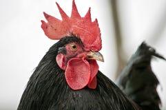 Año del gallo Imagenes de archivo