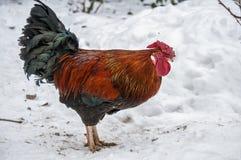 Año del gallo Fotos de archivo libres de regalías