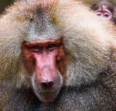 Año del mono Imagen de archivo libre de regalías