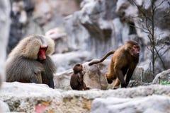 Año del mono Foto de archivo