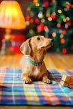Año del perro Fotos de archivo