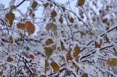 Año Nuevo El invierno es hermoso Ramas de Aspen con una frontera de la nieve congelada que cubre todas las hojas y ramas En la ni imagen de archivo libre de regalías