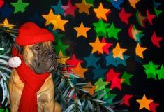 Año Nuevo, la Navidad, Santa Claus en el año del perro en el fondo de las estrellas Retrato del primer de Boerboe surafricano Imagenes de archivo