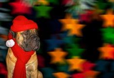 Año Nuevo, la Navidad, Santa Claus en el año del perro en el fondo de las estrellas Retrato del primer de Boerboe surafricano Imagen de archivo libre de regalías