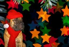 Año Nuevo, la Navidad, Santa Claus en el año del perro en el fondo de las estrellas Retrato del primer de Boerboe surafricano Fotografía de archivo