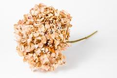 10 años de la hortensia - seco descolorado imagen de archivo libre de regalías