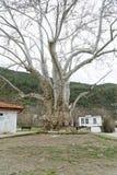 700 años del árbol imagen de archivo libre de regalías