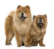 Años del perro chino de perro chino 5 y 6, colocándose Fotos de archivo