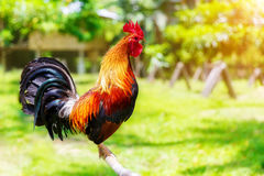 2017 Años Nuevos chinos del gallo/del gallo Backgro de la celebración Fotos de archivo libres de regalías
