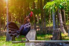 2017 Años Nuevos chinos del gallo/del gallo Backgro de la celebración Fotos de archivo