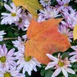 Aún flores otoñales de la vida Crisantemo Hojas de arce en el top margarita Fotografía de archivo libre de regalías