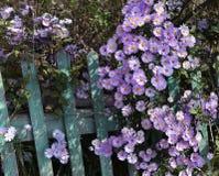 Aún la vida rural con la cerca y el otoño florece Foto de archivo libre de regalías