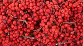 Aún-vida con las bayas de serbal rojas naturales frescas Fotos de archivo libres de regalías